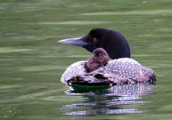 Loons, Owls, Crickets, and Frogs of Northern Minnesota